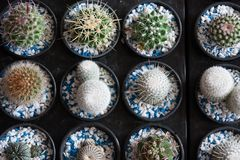 Closeup of small cactus in the black pots, Little Desert plants Stock Photography