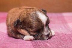 Closeup of small Chihuahua puppies sleeping on a pink carpet. Stock Images