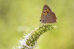 Small or common copper butterfly lycaena phlaeas closeup. Closeup of a small or common Copper butterfly, lycaena phlaeas, feeding nectar of white flowers in a Royalty Free Stock Photo