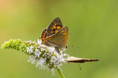 Small or common copper butterfly lycaena phlaeas closeup Royalty Free Stock Images