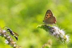 Small or common copper butterfly lycaena phlaeas closeup Stock Images