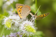 Small or common copper butterfly lycaena phlaeas closeup. Closeup of a small or common Copper butterfly, lycaena phlaeas, feeding nectar of white flowers in a Stock Image