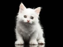 Closeup Small Cute White Kitten on Black Royalty Free Stock Images