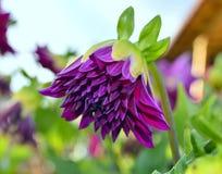 Closeup of a small dahlia bud. Closeup of a beautiful dahlia bud with bright purple color stock photos