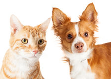 Closeup Small Dog and Tabby Cat Stock Images