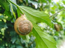 Closeup of edible snail with shell eating green leaf Stock Images
