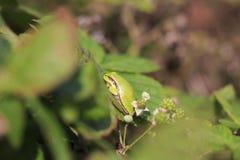 Closeup of a small European tree frog Hyla arborea or Rana arbo. Rea, resting in a blackberry bush heating up in the sun Stock Photos