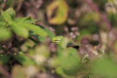Closeup of a small European tree frog Hyla arborea or Rana arbo. Rea, resting in a blackberry bush heating up in the sun Stock Images
