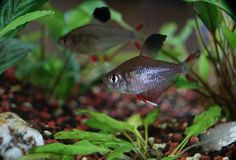 Closeup of small fish in aquarium royalty free stock images