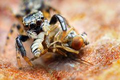 Closeup of small jumping spider   Royalty Free Stock Images