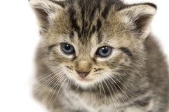 Closeup of a small kitten Royalty Free Stock Image