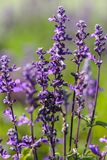 Macro of lavender flowers Royalty Free Stock Images