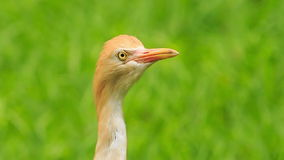 Closeup Small Orange Cattle Egret Turn Head in Park. Closeup small orange egret turns his head around against green plant in park stock video