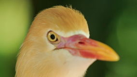 Closeup Small Orange Cattle Egret Turn Head in Park. Closeup small orange egret turns his head around against green plant in park stock video footage