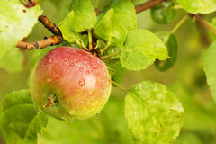 Closeup of a Small Red Apple on Tree. Closeup of a Small Red Apple on an Apple Tree royalty free stock photography