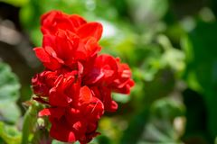Closeup on small red geranium. In a garden, green, blossom, beautiful, floral, nature, color, flower, leaf, petal, bloom, botany, beauty, gardening, background stock photos