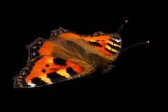 Closeup Small Tortoiseshell Butterfly on Black Background Stock Images