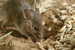 Closeup small vole mouse digs a hole near of grains of rye on the field. Fight with rodents stock photography