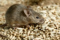 Closeup small  vole mouse lurking on pile of grain of rye in warehouse. Stock Images