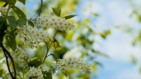 Closeup small white flowers on bird-cherry tree branch. Closeup small white flowers among leaves on bird-cherry tree branch against plowed field and sky with stock footage