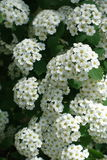 Closeup of small white flowers of spirea. Close up of small white flowers of spirea Royalty Free Stock Images