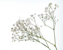 Closeup of small white gypsophila flowers isolated on white
