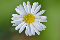 Closeup of a small yellow and white daisy. Macro detail of a single yellow and white petite daisy against a green background Stock Photography