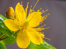 Closeup of small yellow wort flower Stock Photo