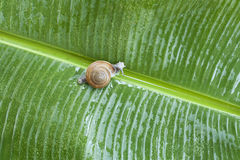 Snail on banana palm green leaf Stock Images