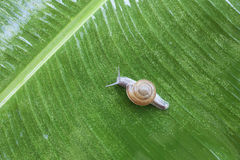 Snail on banana palm green leaf Royalty Free Stock Images