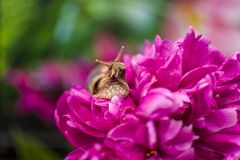 Closeup of Snail. Snail on a bright pink peony flower bud , among green meadows dotted with flowers Stock Photography