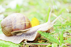 Closeup of a Snail in the forest Stock Photos