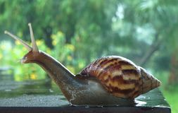 Closeup of a snail going about its business stock images