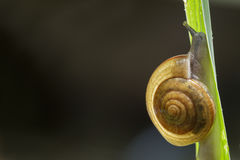Closeup snail on green leaf. Royalty Free Stock Image