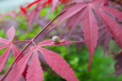 Closeup of snail on maple tree in the garden Stock Photos