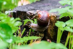 Closeup of a snail on an old stump amongst the young bright green foliage. Entertaining snail on an old stump amongst young bright green foliage on a rainy day Royalty Free Stock Photo