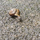 Closeup of a snail with a shell, Gastropoda. Closeup of a snail with a shell on pavement Royalty Free Stock Photo