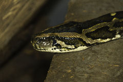 Closeup of snake head and eye as it slithers on ground Stock Image