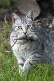 A closeup snapshot of cat hunter with catch mouse. The closeup snapshot of the domestic gray cat with catch mouse in the mouth with visible details Royalty Free Stock Photos