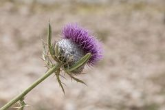 Closeup snapshot of purple burdock. The snapshot of the head of purple burdock with visible details of thorny stem Royalty Free Stock Photography
