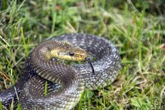 Coiled snake with an extended tongue Stock Photo