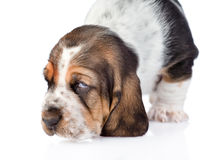 Closeup sniffing basset hound puppy. isolated on white background.  royalty free stock photos