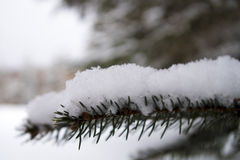 Closeup of a snow covered spruce tree branch Stock Photo