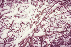 Closeup of snow on dry branches of tree in winter time Royalty Free Stock Image