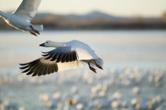 A closeup of a snow goose frozen in flight at the Bosque del Apache National Wildlife Refuge, near San Antonio and Socorro, New Me Royalty Free Stock Photography