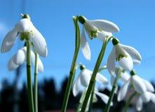Closeup - snowdrops Stock Photo