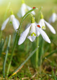 Closeup snowdrops with ladybirds Stock Photo