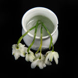 Closeup of Snowdrops in Vase. Square photo of snowdrops in white jar.  High angle view against black background. White spring flowers shot from above Stock Photos
