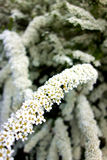 Closeup of Snowmound Branch royalty free stock photography