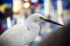 Closeup of Snowy Egret Royalty Free Stock Photo